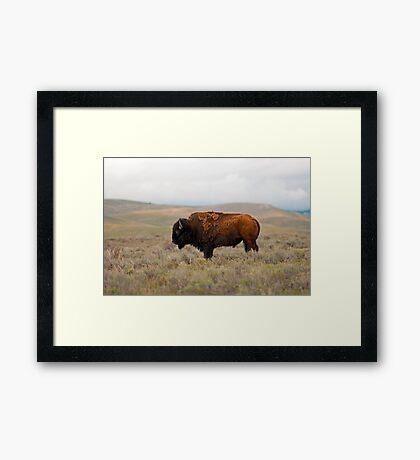 Iconic Image - American Bison Framed Print