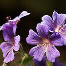 Four Purple Geranium Flowers by shane22