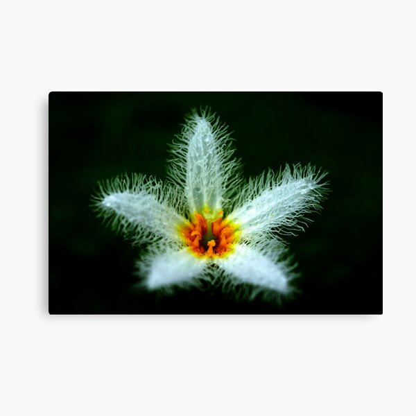 Nymphoides indica Canvas Print