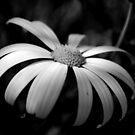 Daisy in B&W by Lozzar Flowers & Art