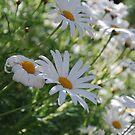 Daisy's Alive! by Lozzar Flowers & Art