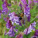 Bumblebee and Vetch by rd Erickson