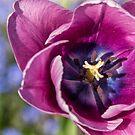 Purple Tulip by Ken Humphreys