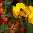 Poppies and Honey Bee by K D Graves Photography
