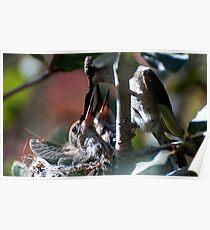 Update Hummingbird Babes  Poster