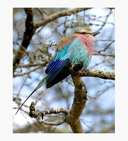 Lilac Breasted Roller On A Chilly Morning Photographic Print
