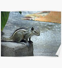 Curiosity - Indian Squirrel Poster