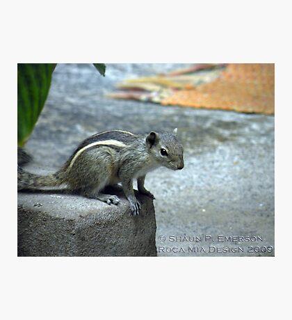 Curiosity - Indian Squirrel Photographic Print