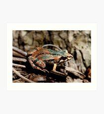 Common Eastern Froglet, Crinia signifera  Art Print