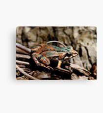 Common Eastern Froglet, Crinia signifera  Canvas Print