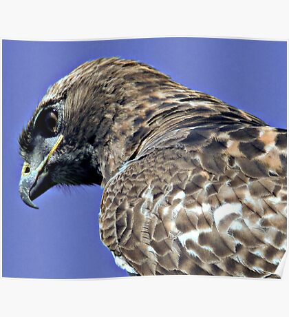 Red Tailed Hawk Close Up Poster