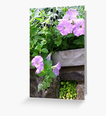 Soft Petunias and a Stone Wall Greeting Card