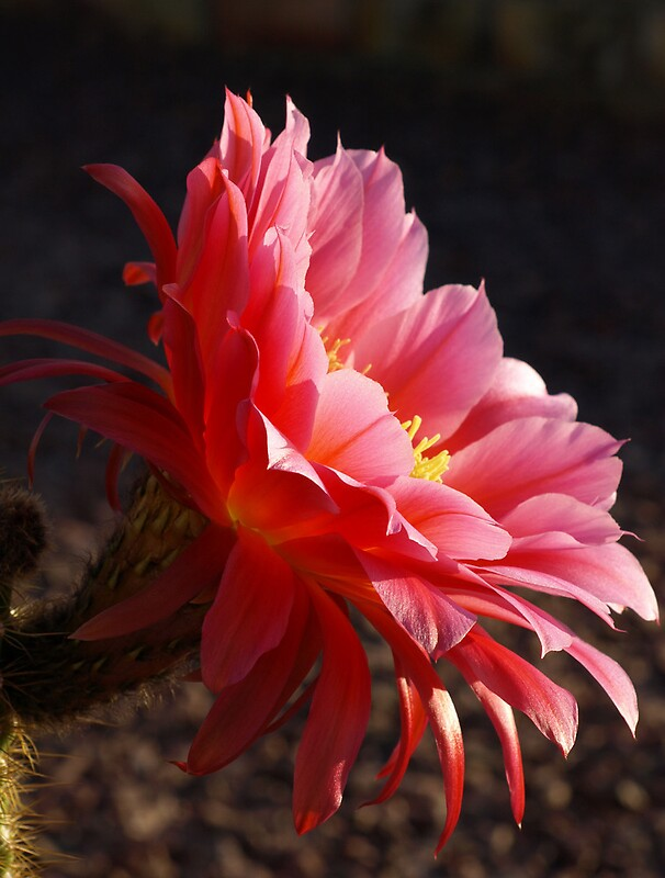 Pink argentine giant cactus flower by b l thorvilson for Cactus argentina