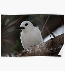 Lord Howe Island White Tern Sitting on a Norfolk Pine  Poster