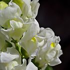 Snapdragon Flower White Summer by Joy Watson