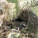 Cactus Wren ~ Nesting Female by Kimberly Chadwick