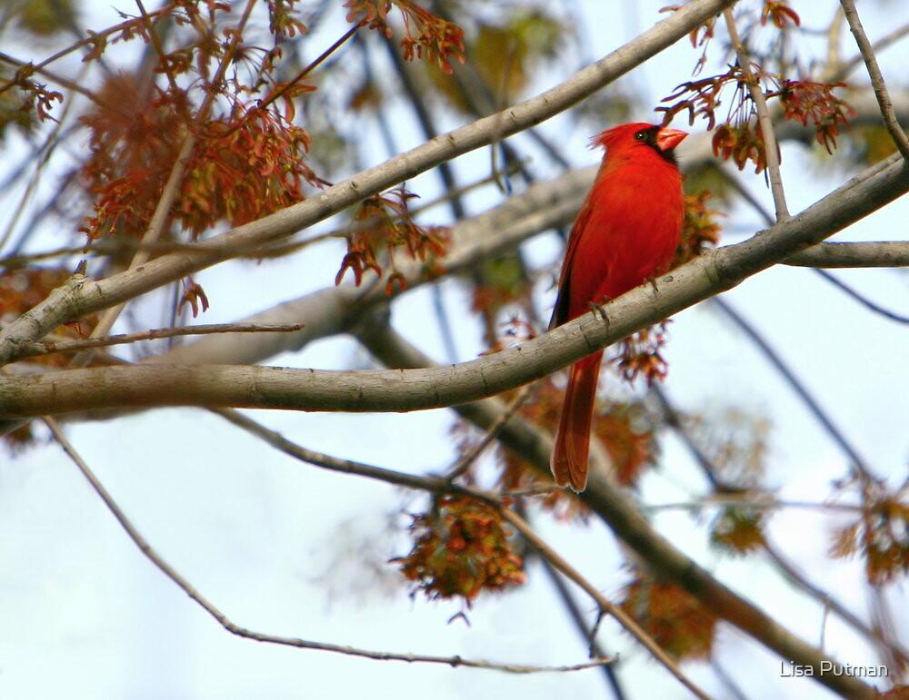 Cardinal at Twilight by Lisa G. Putman