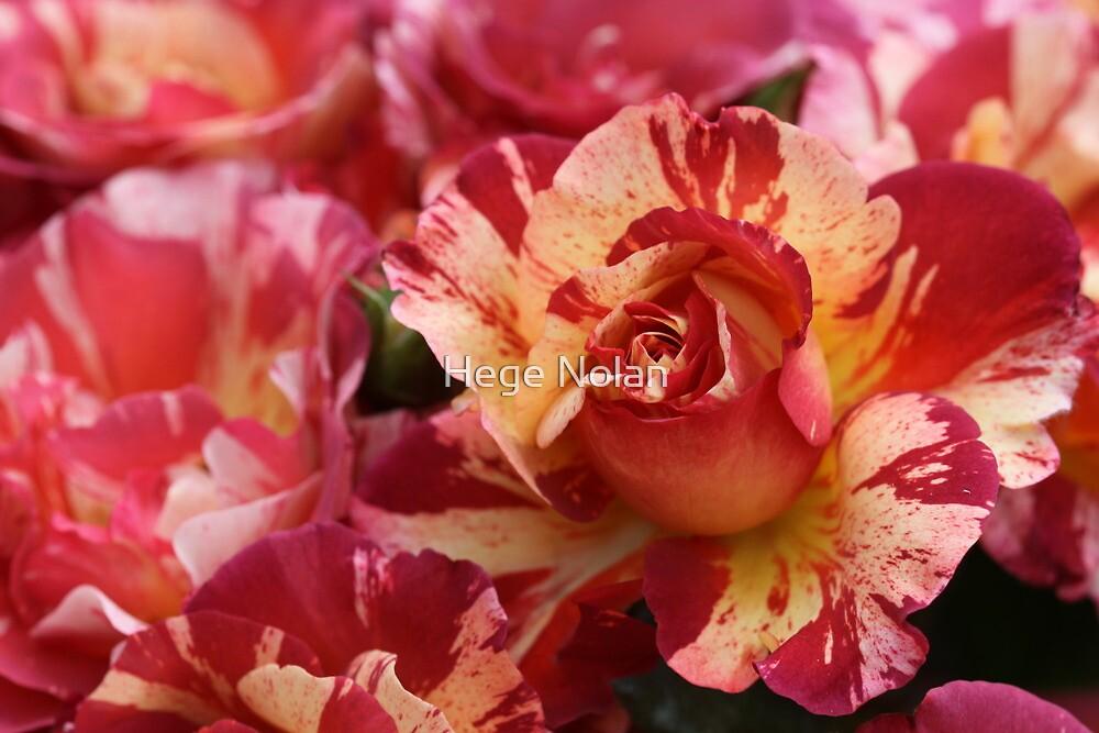 A sisley rose by Hege Nolan