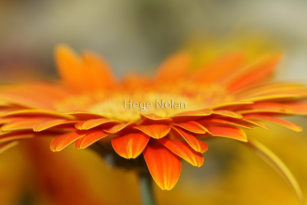 He loves me, he loves me not.... by Hege Nolan