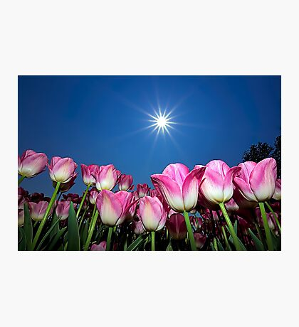 Field of Pink Tulips Photographic Print
