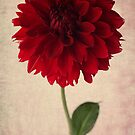red dahlia by OldaSimek