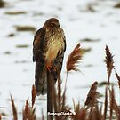 Northern Harrier by Bunny Clarke