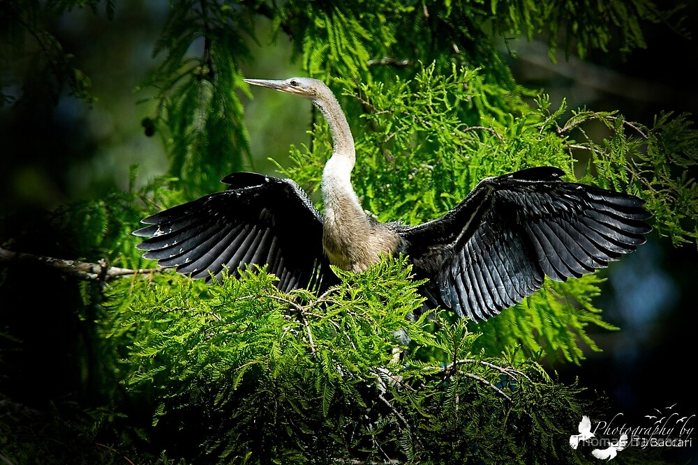 Anhinga in the Tree by TJ Baccari Photography