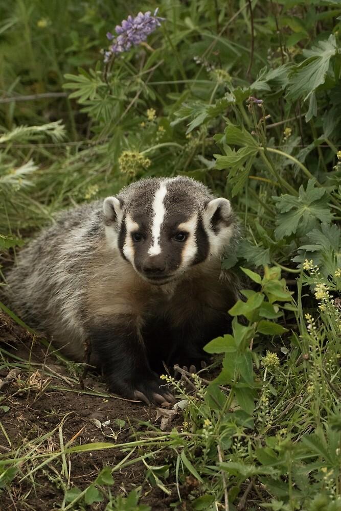 Baby Badger 2 by Matthew Kochel JJ In A Jayco