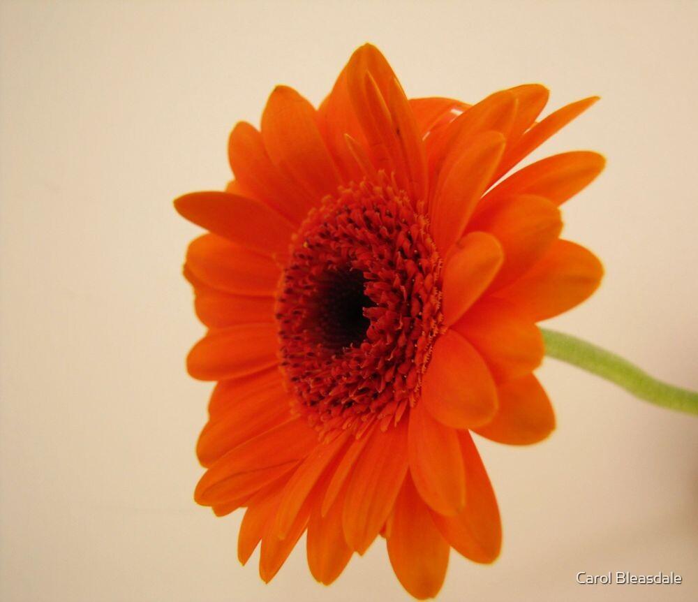 Orange Gerbera by Carol Bleasdale