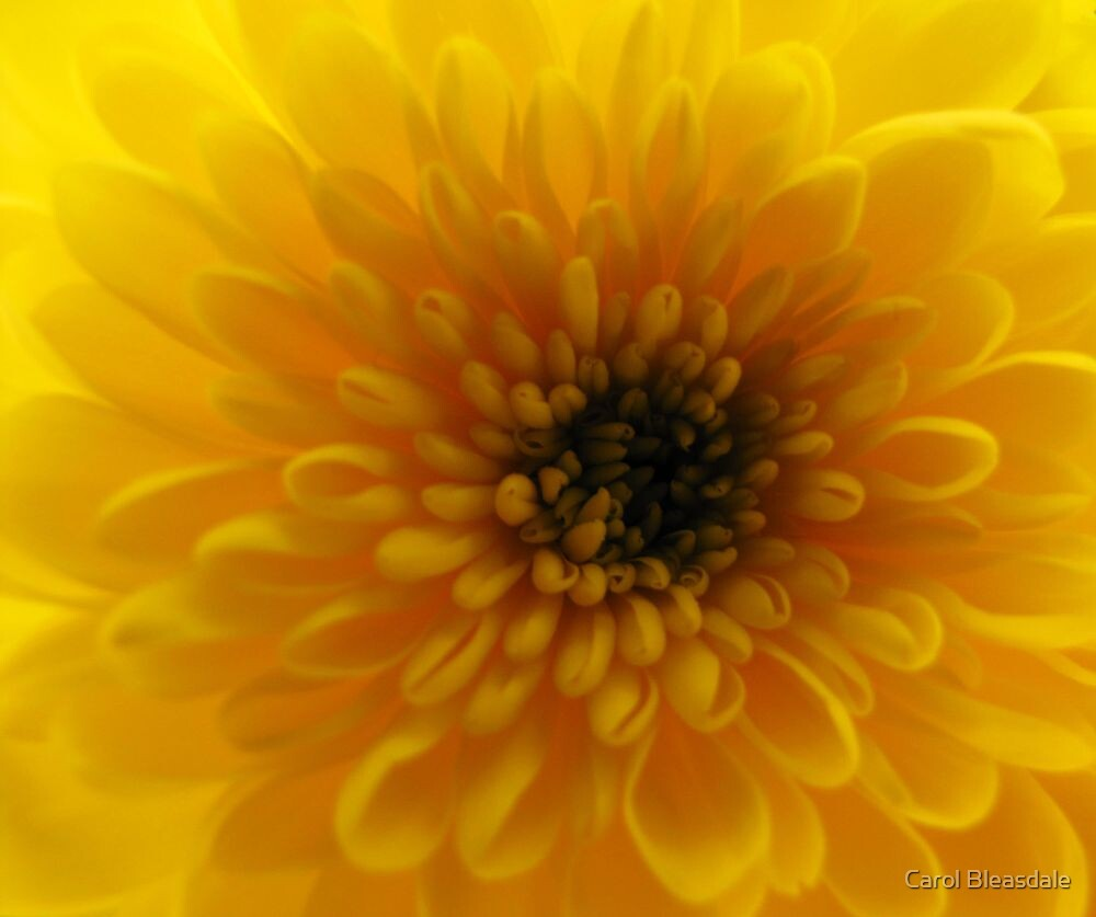 Yellow Chrysanthemum by Carol Bleasdale