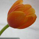Tulip 1 by Anthemis