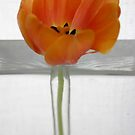 Tulip 2 by Anthemis