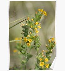 Amsinckia menziesii, Fiddleneck, Rancher's Fireweed; Along Interstate 10 Ca & AZ March 2010 (140 Views 5/25/2011) Poster