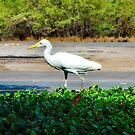 Maui Cattle Egret Step 4  by Robert Meyers-Lussier