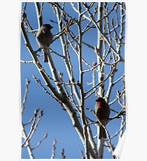 Female and Male House Finches Poster