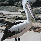 A Pelican on Shelly Beach at Nambucca Heads. by Mywildscapepics