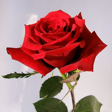 Single Red Rose 1 by collageDP