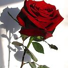 Single Red Rose 2 by collageDP