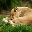 Sleeping Lioness by Tom Grieve