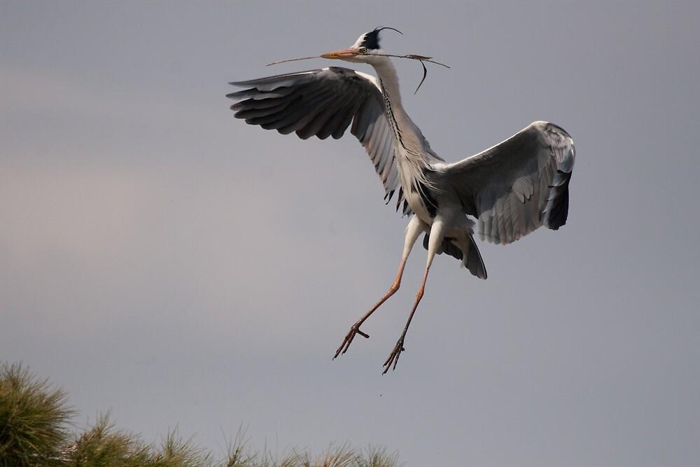 Grey Heron by Ann Heffron