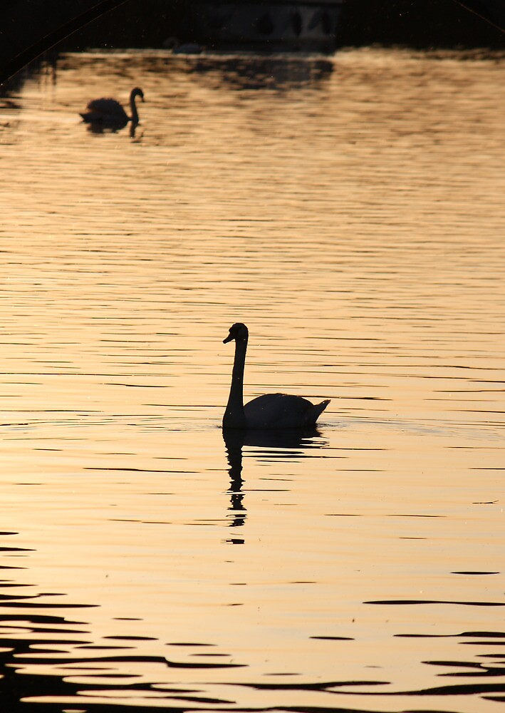 Swan on the Great Ouse by Mark McBee