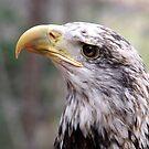 Adler by Lolabud