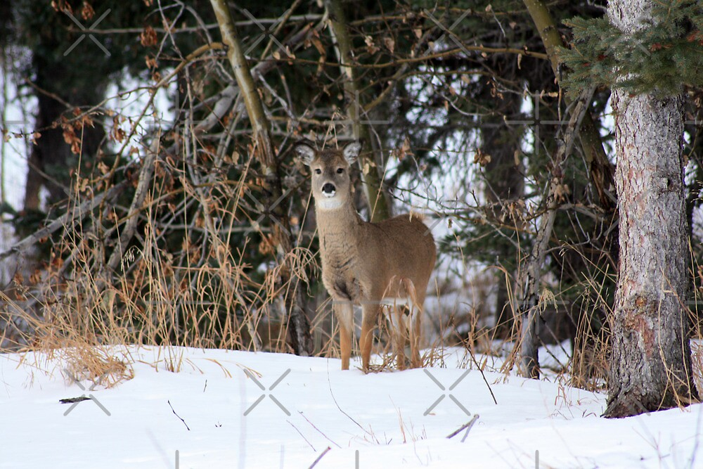 Young Whitetail by Alyce Taylor