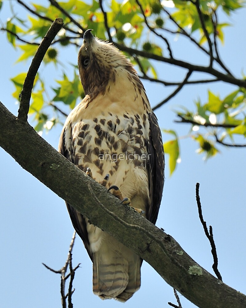 Red Tailed Hawk Juvy by angelcher