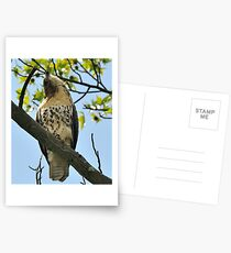 Red Tailed Hawk Juvy Postcards