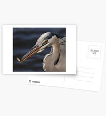 Great Blue Heron with minnow Postcards