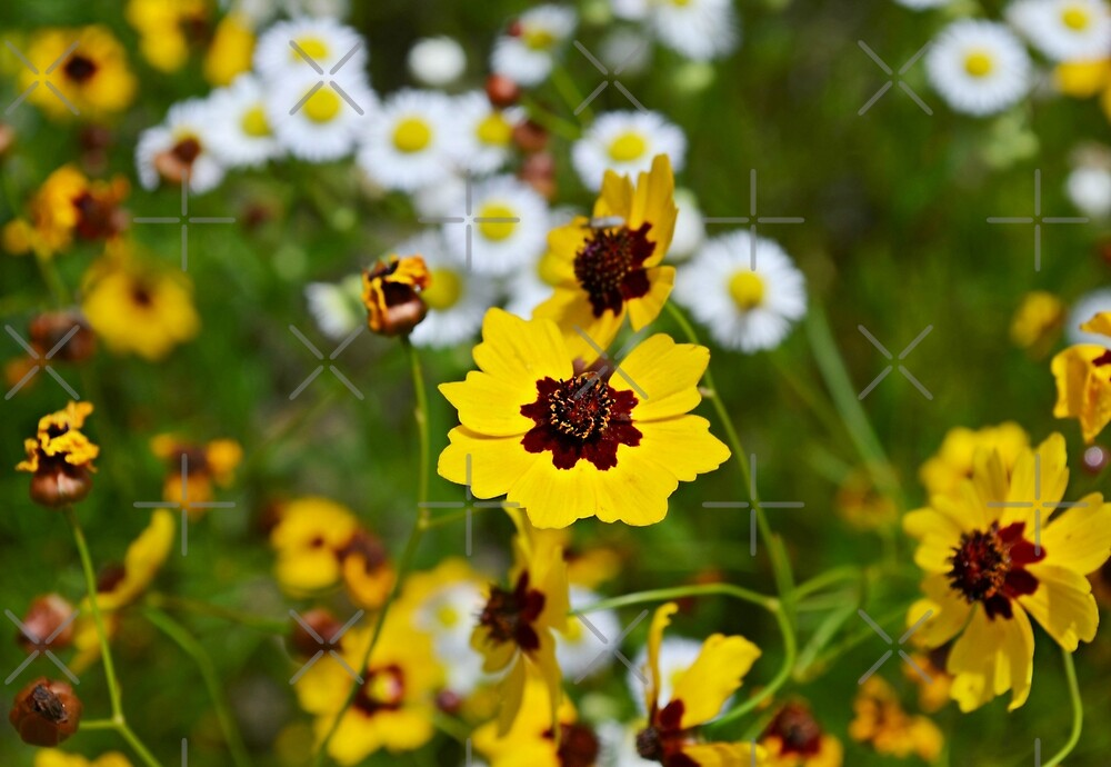 Coreopsis tinctoria (Golden Tickseed) II by Scott Mitchell