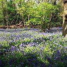 Beckenham Bluebells  by John Gaffen