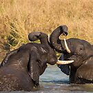 Elephants wrestling, South Africa by Erik Schlogl