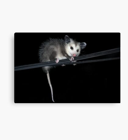 Baby Opossum Doing High Wire Act Canvas Print